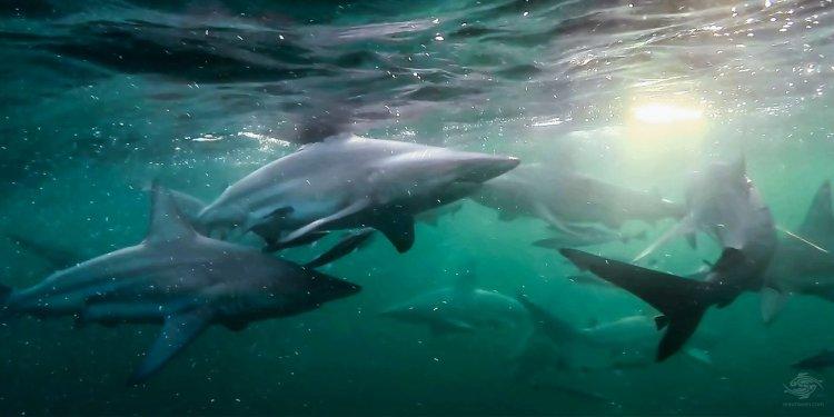 Blacktip Shark Shoal