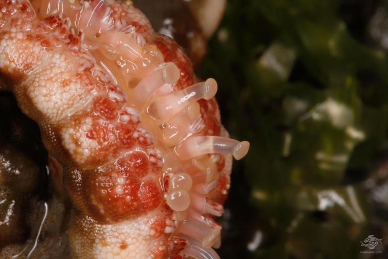 Leg tentacles of Red knob starfish Protoreaster lincki