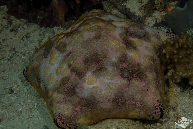 Culcita schmideliana, commonly known as the Spiny Cushion Star