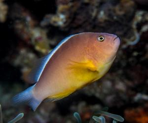Skunk clownfish (Amphiprion akallopisos) or nose striped anemone fish