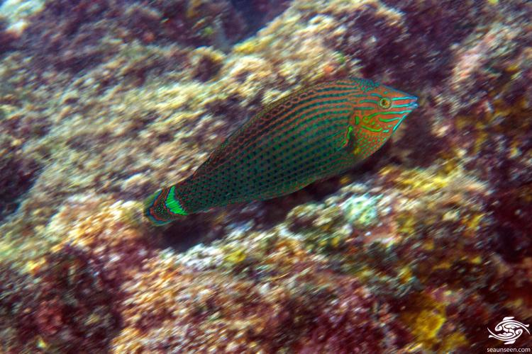 Dusky Wrasse (Halichoeres marginatus) also known as the Splendid Rainbow Wrasse or Two-eyed Wrasse