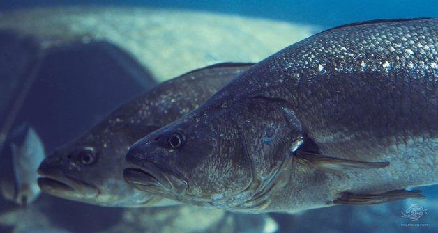 Daga Salmon
