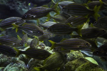 Shoal of Snappers