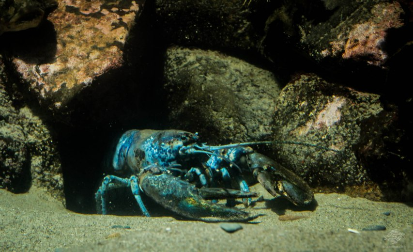 blue american lobster