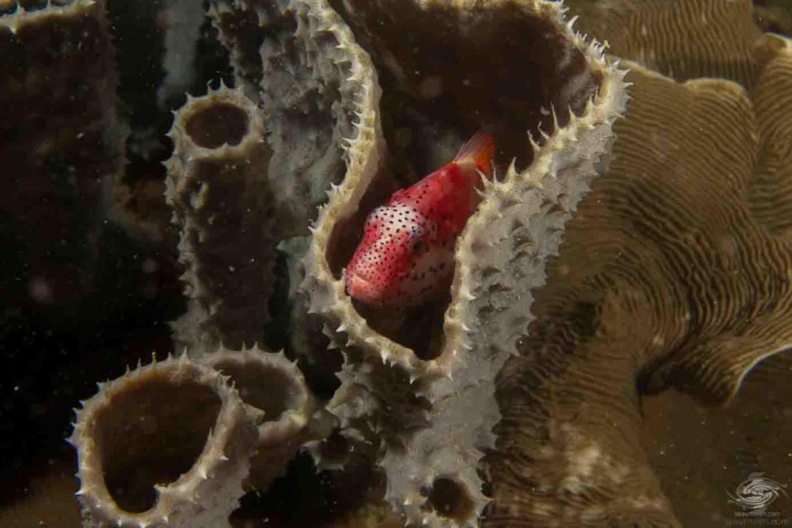 freckled hawkfish (Paracirrhites forsteri),