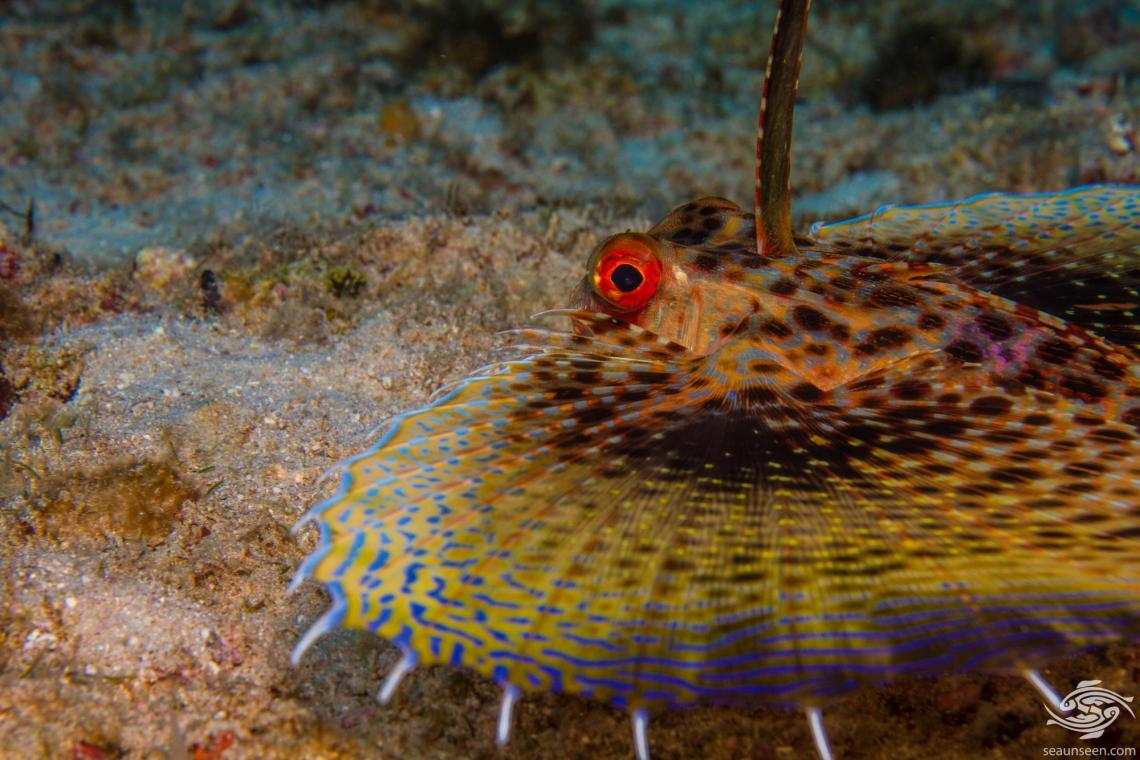Oriental flying gurnard Dactyloptena orientalis is also known as the Purple Flying Gurnard or the Common Helmet Gurnard