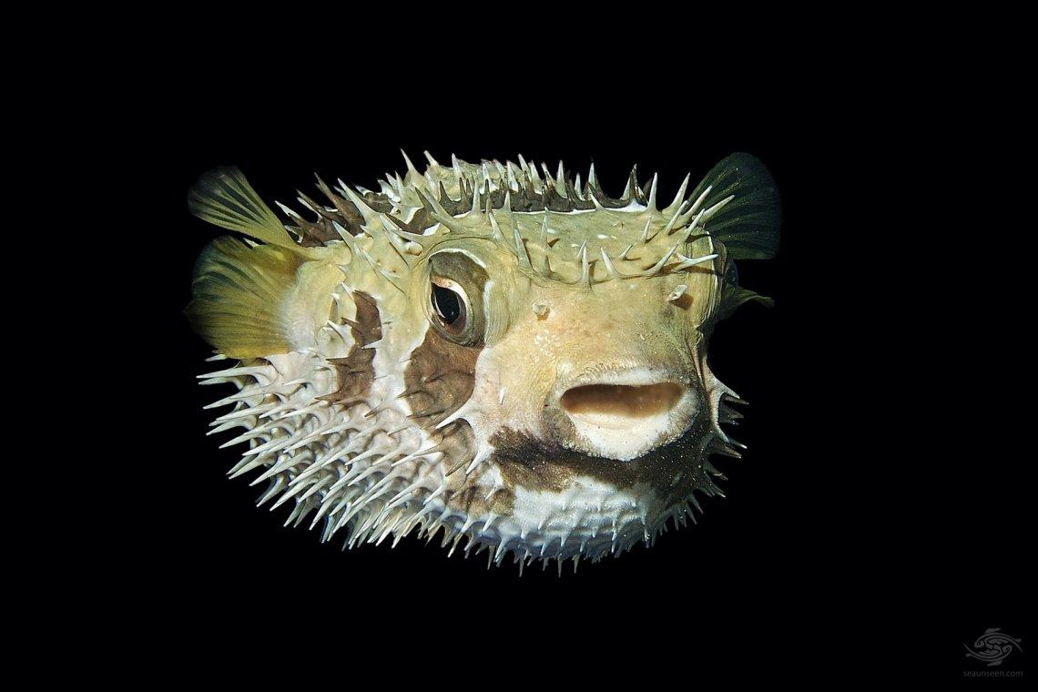 Black-blotched porcupinefish (Diodon liturosus)