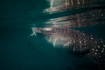 Whale Shark Mafia Island