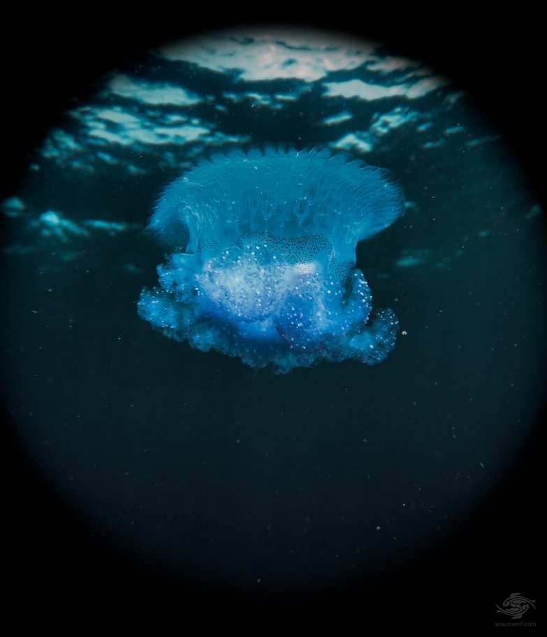 Jellyfish, one of hundreds in the water that day