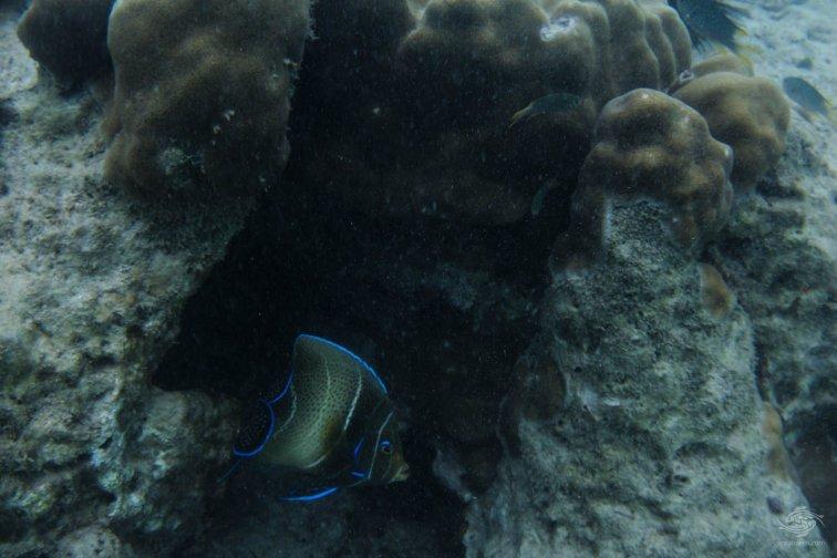 Koran Angelfish Pomacanthus semicirculatus