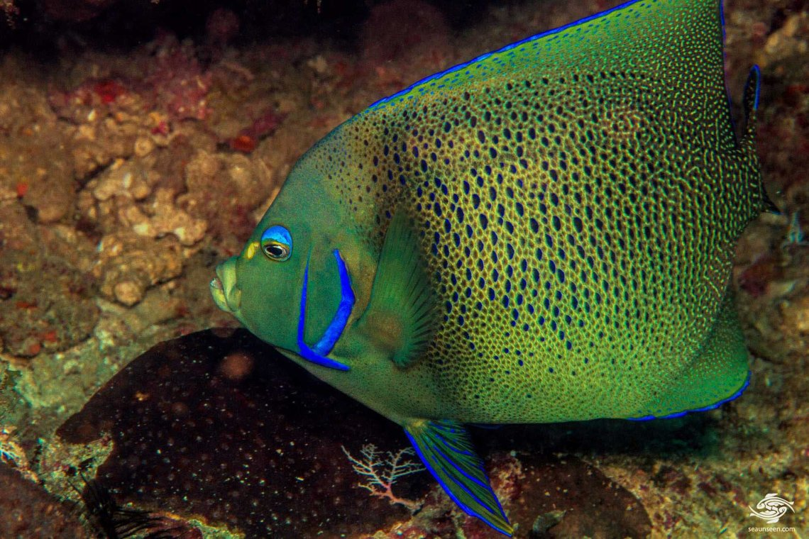 Koran angelfish (Pomacanthus semicirculatus) is also known as  the Blue angelfish or Semicircle angelfish