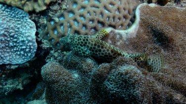 Juvenile grouper