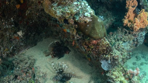 Two lionfish