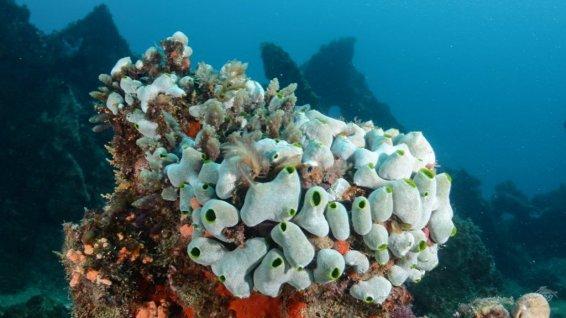 Sea squirts (Ascidiacea)