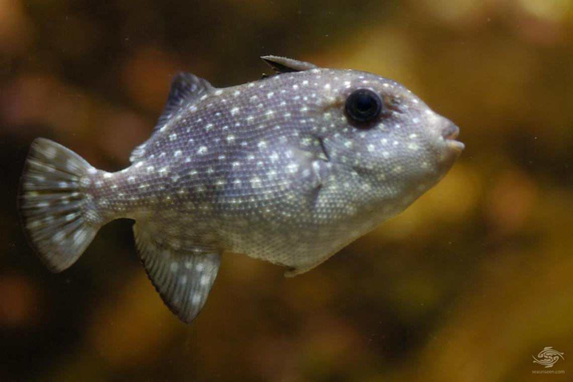 rough triggerfish, also known as spotted oceanic triggerfish (Canthidermis maculata)