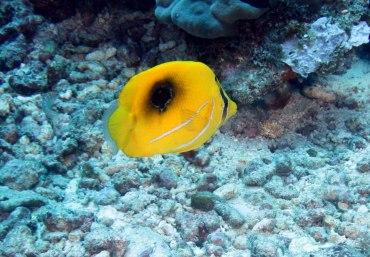 Eclipse Butterflyfish Chaetodon bennetti