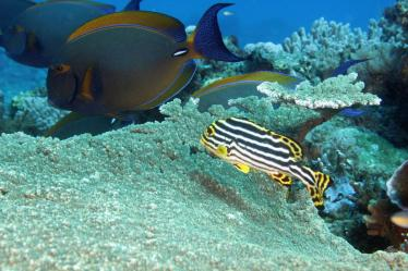 An Oriental sweetlips, Plectorhinchus vittatus on Mikadini reef mafia island diving