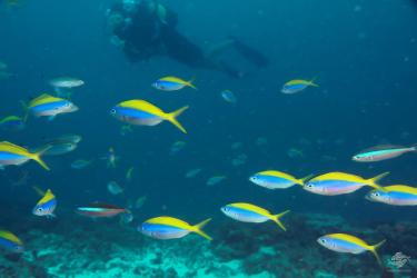 A diver with shoals of fusiliers at Powoni near Paje in Zanzibar