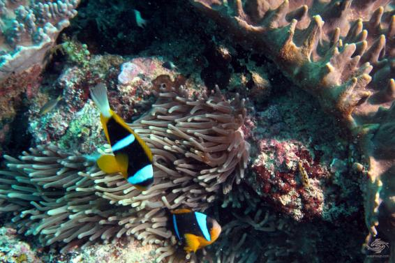 A pair of allards clownfish at Powoni near Paje in Zanzibar