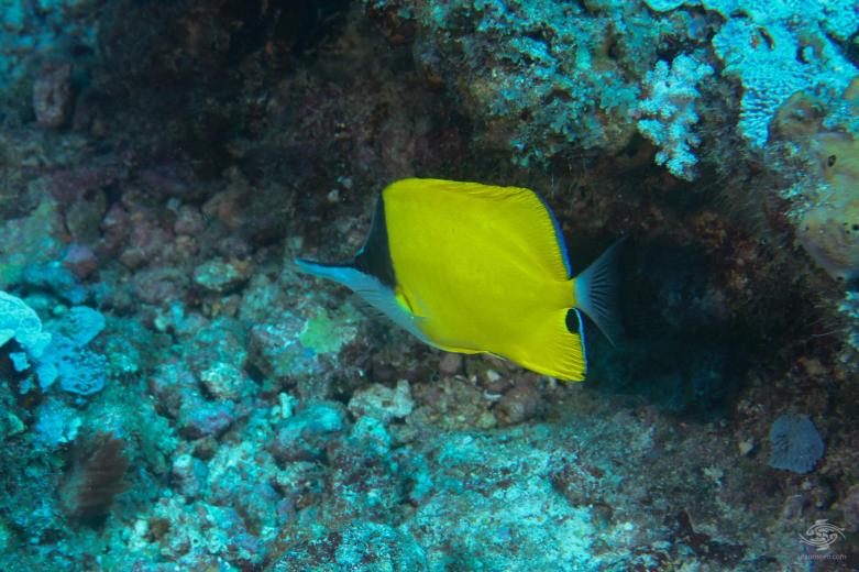 Long nose butterflyfish Forcipeger flavissimus