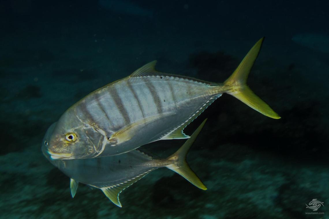 golden trevally Gnathandon speciosus