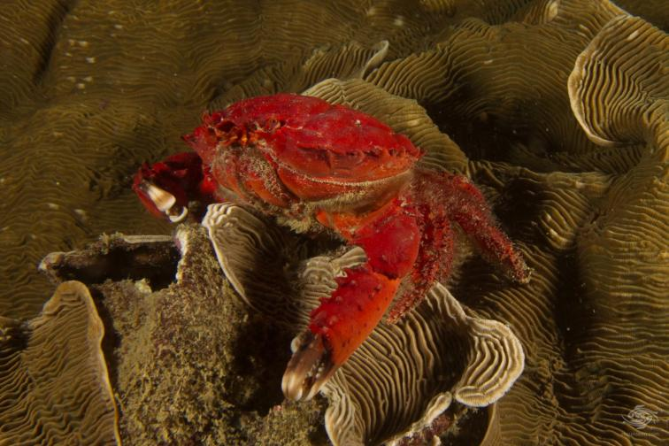 Unknown species of crab Scuba diving Bongoyo Patches Tanzania