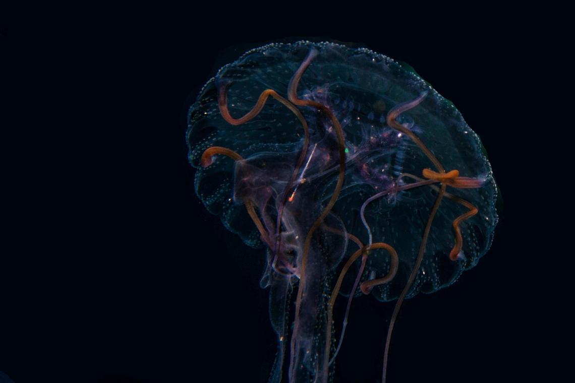 Jellyfish or Sea Jellies Purple-striped Jellyfish, Pelagia panopyra