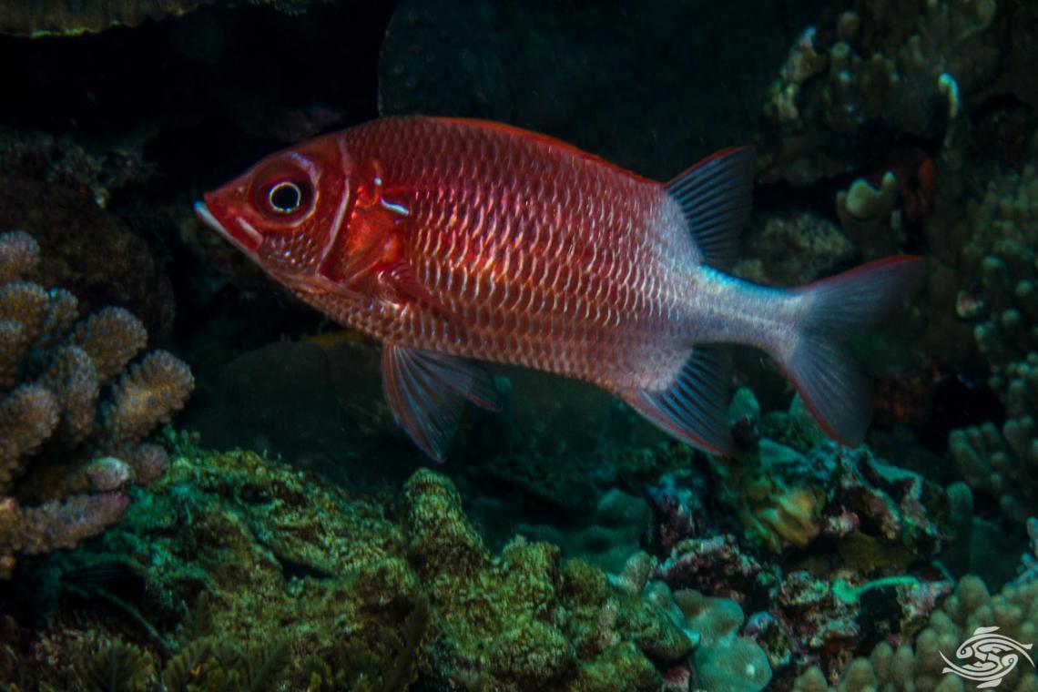 tailspotsquirrelfish Sargocentron caudimaculatum, is also known as the whitetail squirrelfish orsilverspot squirrelfish