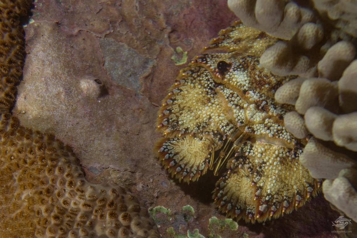 Sculptured slipper lobster Parribacus antarticus