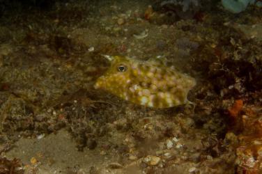 A bluespotted box fish at nudi city