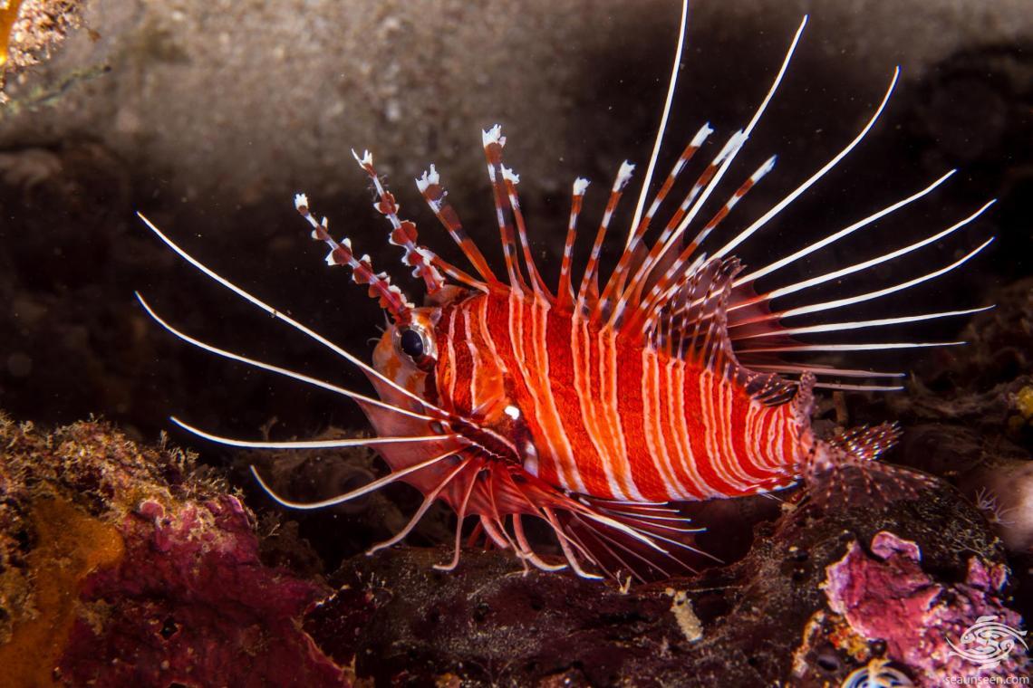 Spotfin lionfish, Antennata lionfish or broadbarred firefish, Pterois antennata