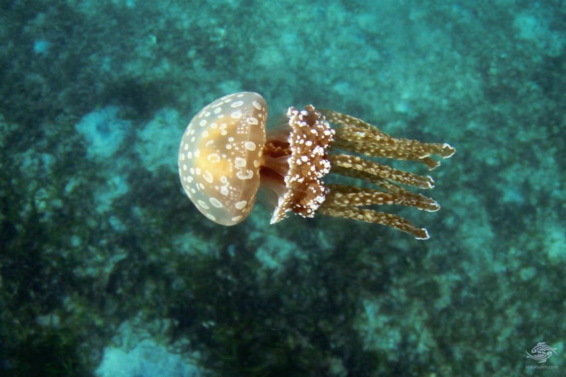 spotted jelly, lagoon jelly, golden medusa, or Papuan jellyfish (Mastigias papua)