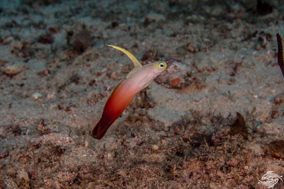 Fire Dartfish Nemateleotris magnifica also known as the fire goby or Red Fire Dartfish