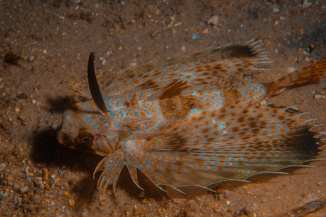 Dactyloptena orientalis, Oriental flying gurnard or purple flying gurnard