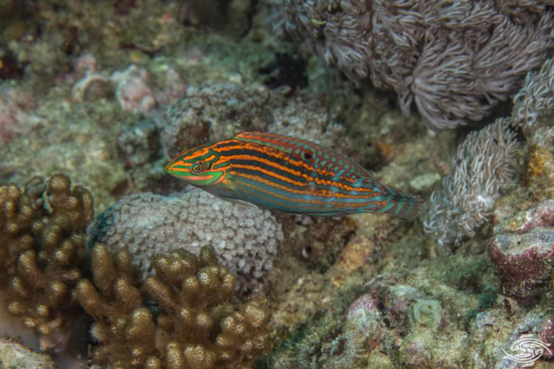 Adorned Wrasse (Halichoeres cosmetus) is also known as the Cosmetic wrasse.