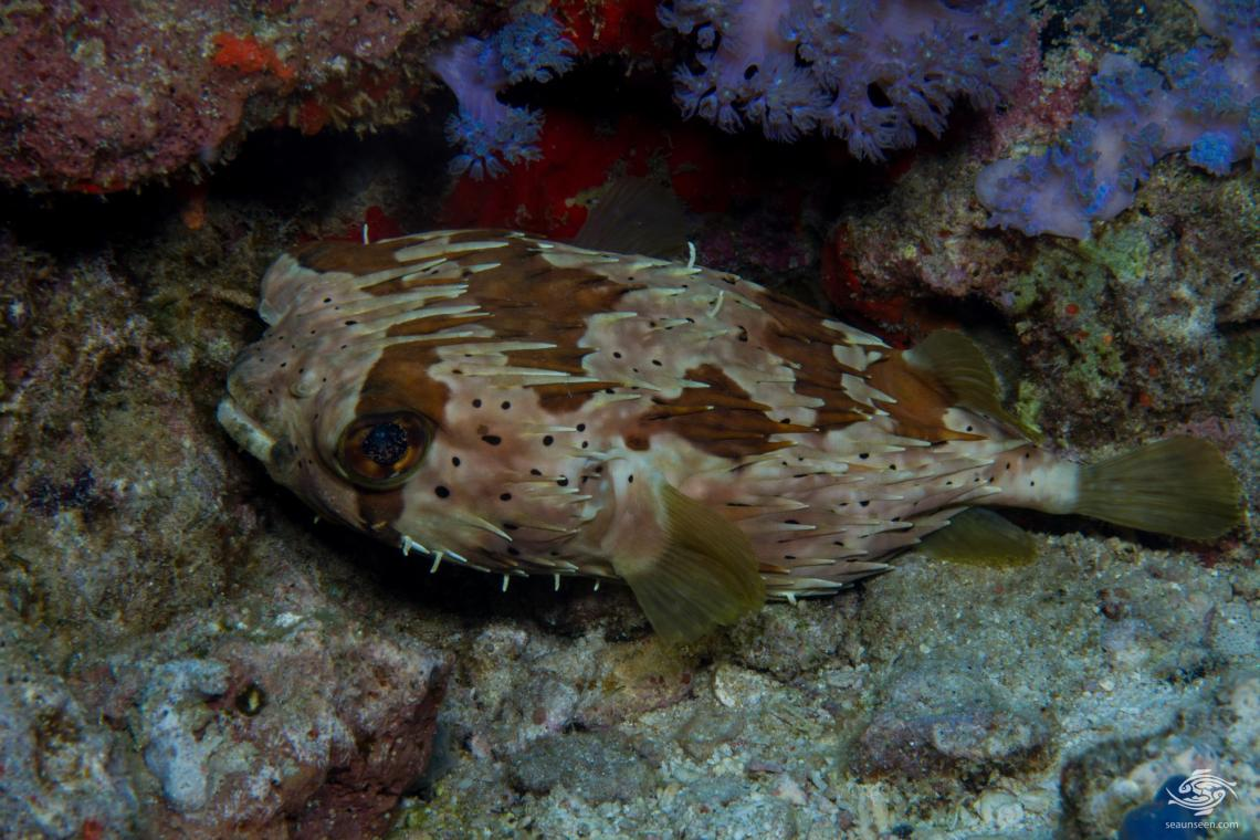 longspined porcupinefish Diodon holocanthus, is also known as the Spiny Ballonfish