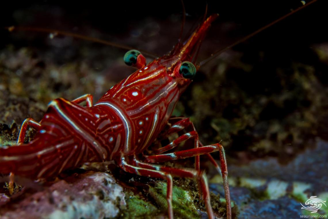 Durban Dancing Shrimp (Rhynchocinetes durbanensis) is also known as the camel shrimp, camelback shrimp, candy shrimp and the hingebeak prawn