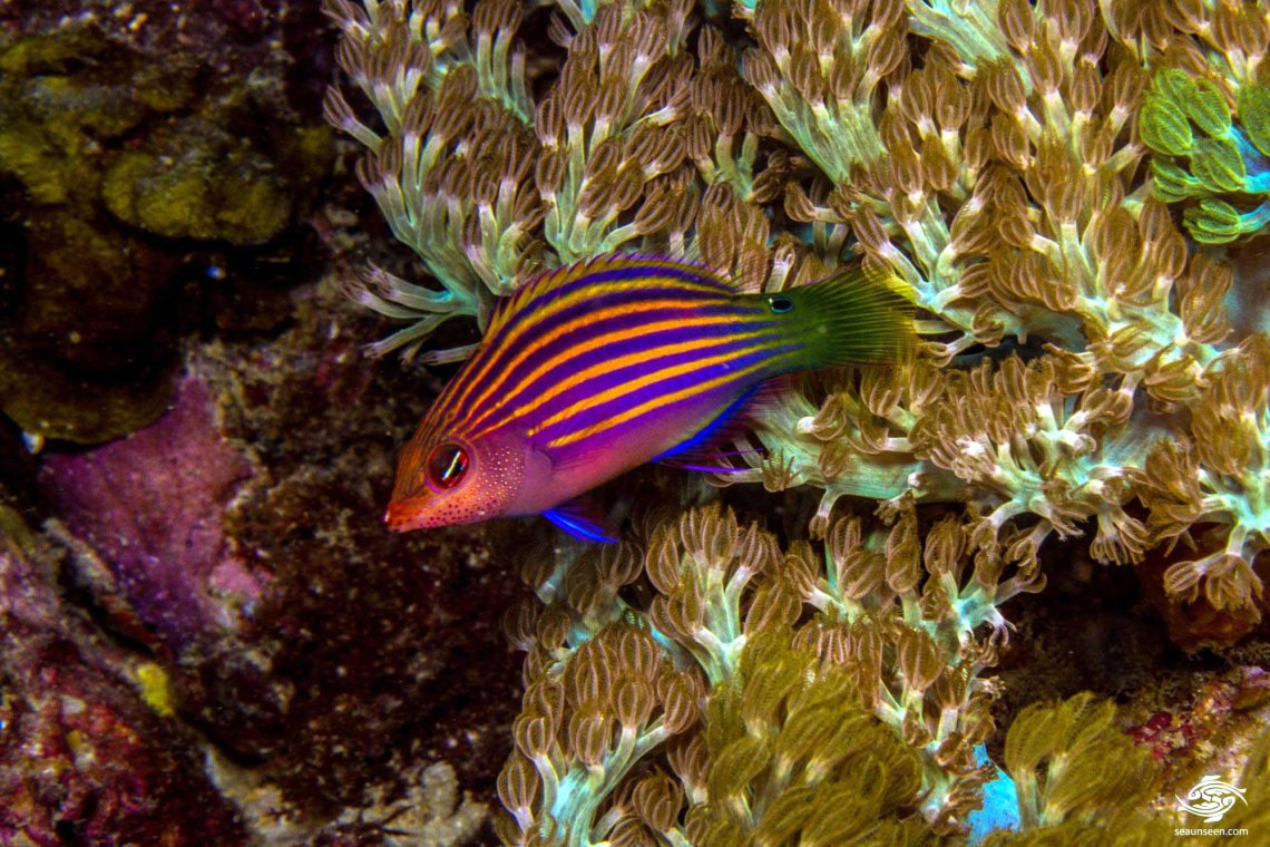 Six line wrasse, Pseudocheilinus hexataenia also known as the Six Stripe Wrasse