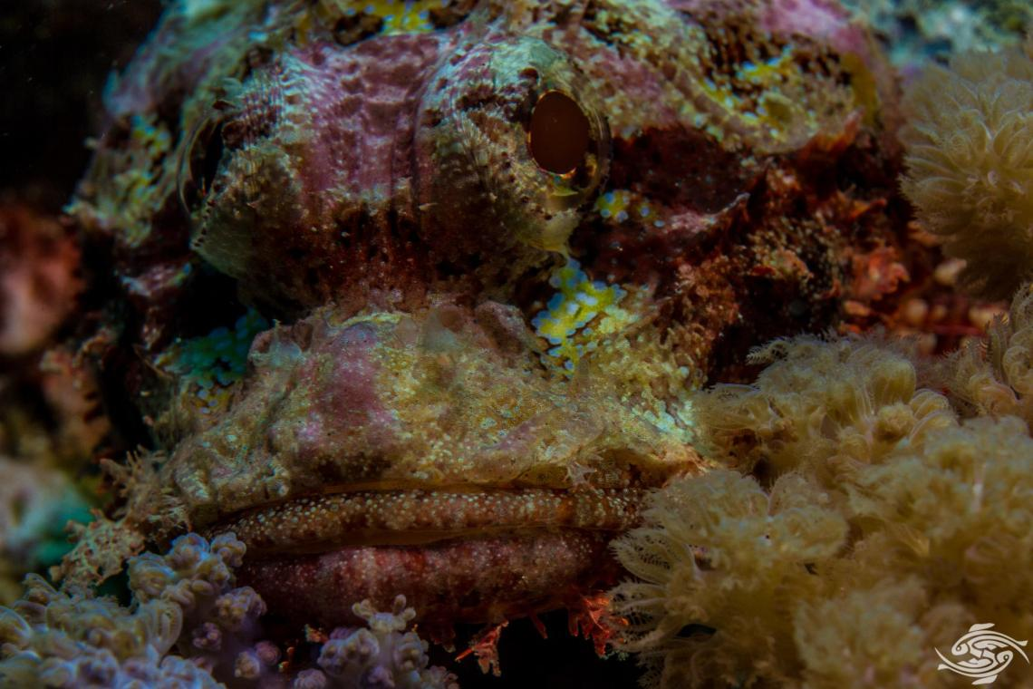 Raggy Scorpionfish (Scorpaenopsis venosa) is also known as the Yellow-nose Scorpionfish