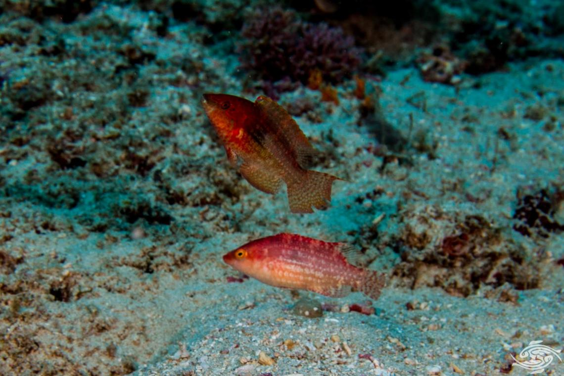 Two-Spot Maori Wrasse (Cheilinus bimaculatus) also known as the Little Maori wrasse and Two-spot wrasse