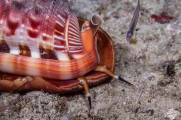 Red helmet shell Cypraecassis rufa is also known as the Bullmouth shell and as the Cameo shell