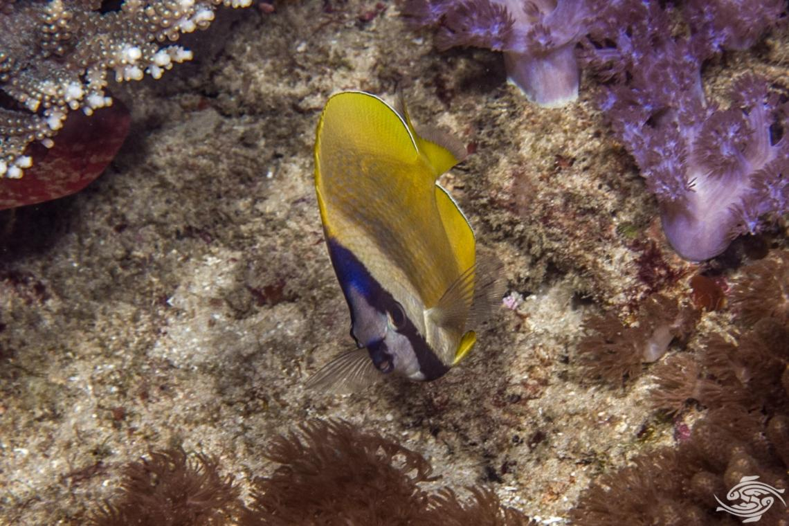 "Sunburst Butterflyfish, Chaetodon kleinii, also known as the Black-lipped Butterflyfish (or ""blacklip butterflyfish"") Orange butterflyfish or Klein's Butterflyfish"