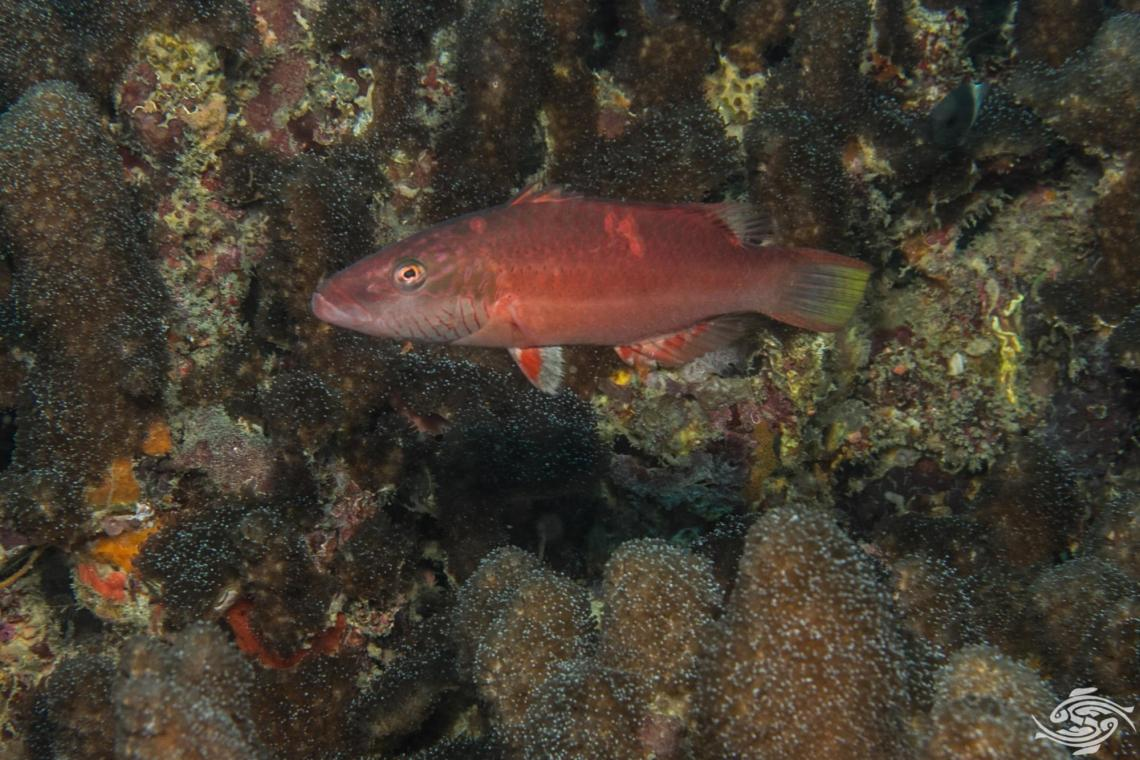 Cheek-lined wrasse Oxycheilinus digramma is also known as the Cheeklined Maori wrasse, Cheeklined wrasse and Bandcheek wrasse