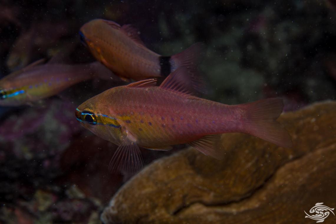 Goldbelly cardinalfish Ostorhinchus apogonidesis also known as the Plain cardinalfish and the Short tooth cardinalfish