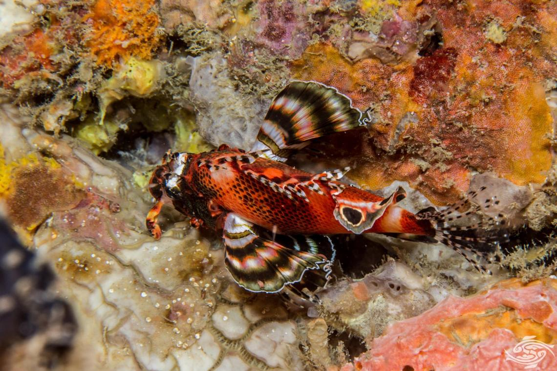 Twinspot Lionfish Dendrochirus biocellatus, also known as the twospot turkeyfish or ocellated lionfish