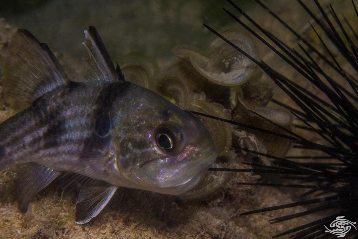 Pharaoh cardinalfish Apogonichthyoides pharaonis