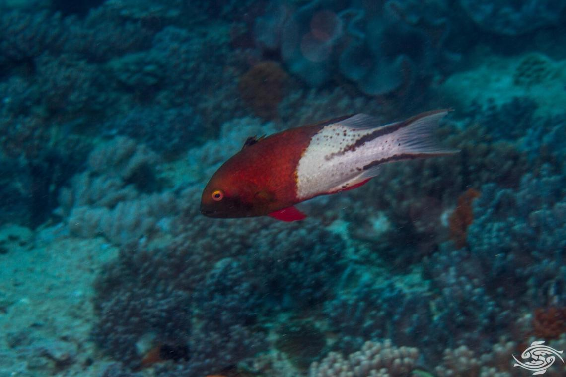 Lyretail hogfish (Bodianus anthioides)
