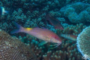 goldsaddle goatfish (Parupeneus cyclostomus)or yellowsaddle goatfish