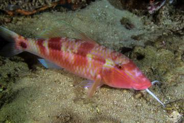 Longbarbel Goatfish (Parupeneus macronemus) is also known as the Band-dot goatfish, and Long-barbeled goatfish