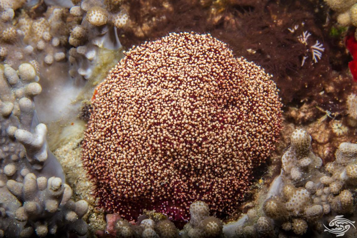 Flower urchin, Toxopneustes pileolus with pedicellariae closed